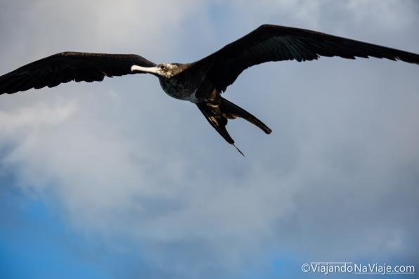 """Serie: Galapagos Experience 2017 // Fotos y Edición: Felipe """"Pipo"""" (viajandonaviaje.com) // Fragata Real (Fregata minor)"""
