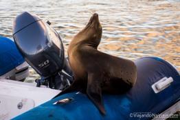 """Serie: Galapagos Experience 2017 // Fotos y Edición: Felipe """"Pipo"""" (viajandonaviaje.com) // León Marino de Galapagos (Zalophus wollebaeki)"""