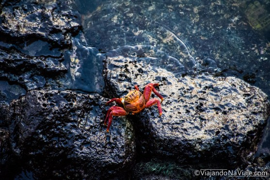"""Serie: Galapagos Experience 2017 // Fotos y Edición: Felipe """"Pipo"""" (viajandonaviaje.com) // Los Tuneles, Isla Isabela // Zayapa o Abuete negro (Grapsus grapsus)"""
