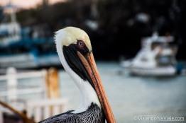 """Serie: Galapagos Experience 2017 // Fotos y Edición: Felipe """"Pipo"""" (viajandonaviaje.com) // Pelicano Pardo de Galapagos (Pelecanus occidentalis urinator)"""