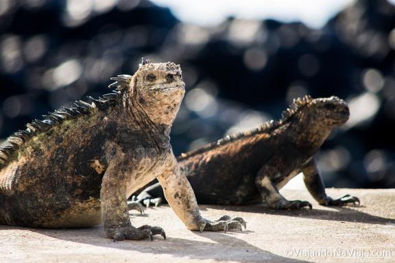 """Serie: Galapagos Experience 2017 // Fotos y Edición: Felipe """"Pipo"""" (viajandonaviaje.com) // Iguana Marina de Galapagos (Amblyrynchus cristatus)"""