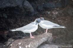 """Serie: Galapagos Experience 2017 // Fotos y Edición: Felipe """"Pipo"""" (viajandonaviaje.com) // Birds at Tortuga Bay, Santa Cruz Island"""
