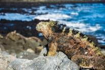 """Serie: Galapagos Experience 2017 // Fotos y Edición: Felipe """"Pipo"""" (viajandonaviaje.com) // Iguanas Marinas de Galapagos"""