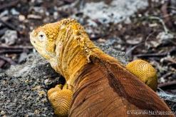 """Serie: Galapagos Experience 2017 // Fotos y Edición: Felipe """"Pipo"""" (viajandonaviaje.com) // Iguanas Terrestres de Galapagos"""