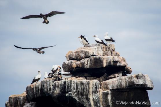 """Serie: Galapagos Experience 2017 // Fotos y Edición: Felipe """"Pipo"""" (viajandonaviaje.com) // Piqueros de Nazca (Sula granti)"""