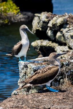 """Serie: Galapagos Experience 2017 // Fotos y Edición: Felipe """"Pipo"""" (viajandonaviaje.com) // Piquero de Patas Azules (Sula nebouxii)"""