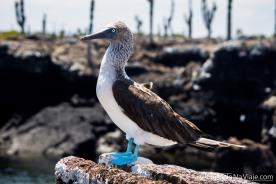 """Serie: Galapagos Experience 2017 // Fotos y Edición: Felipe """"Pipo"""" (viajandonaviaje.com) // Piquero de Patas Azules - Blue-footed Booby (Sula nebouxii)"""