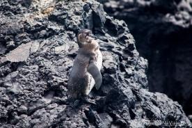 """Serie: Galapagos Experience 2017 // Fotos y Edición: Felipe """"Pipo"""" (viajandonaviaje.com) // Galapagos Penguin, Isabela Island"""