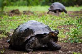 """Serie: Galápagos Experience ©ViajandoNaViaje 2017 // Fotos y Edición: Felipe """"Pipo"""" // Tortugas gigantes de Galápagos"""