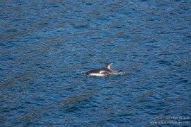 """Serie: Patagonian Explorers 2018-19 // Fotos y Edición: Felipe """"Pipo"""" (viajandonaviaje.com) // Delfín Austral (Peale's Dolphin)"""